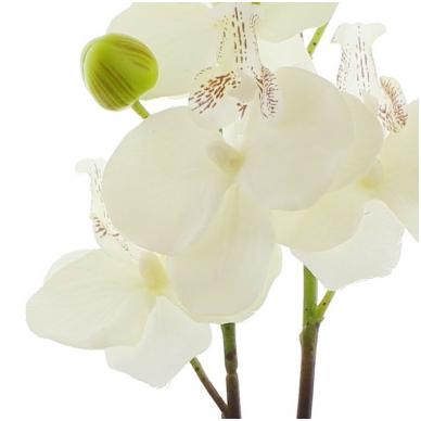 Dekoratyvinė orchidėja